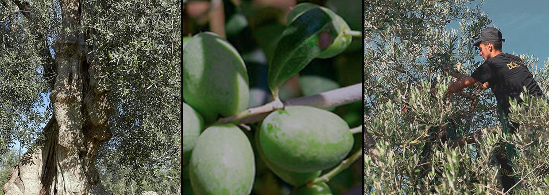 Økologisk olivenolie fra De Carlo
