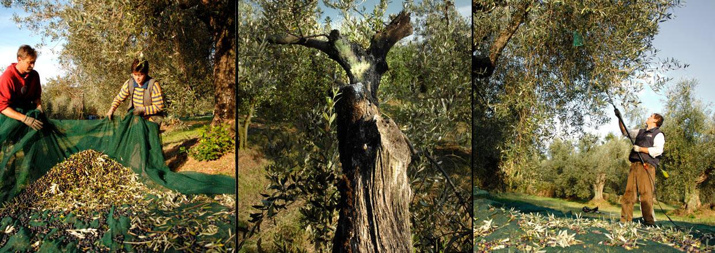 Økologisk olivenolie fra Fonte di Fiano