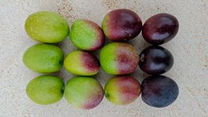 Forløbet i modningen af oliven